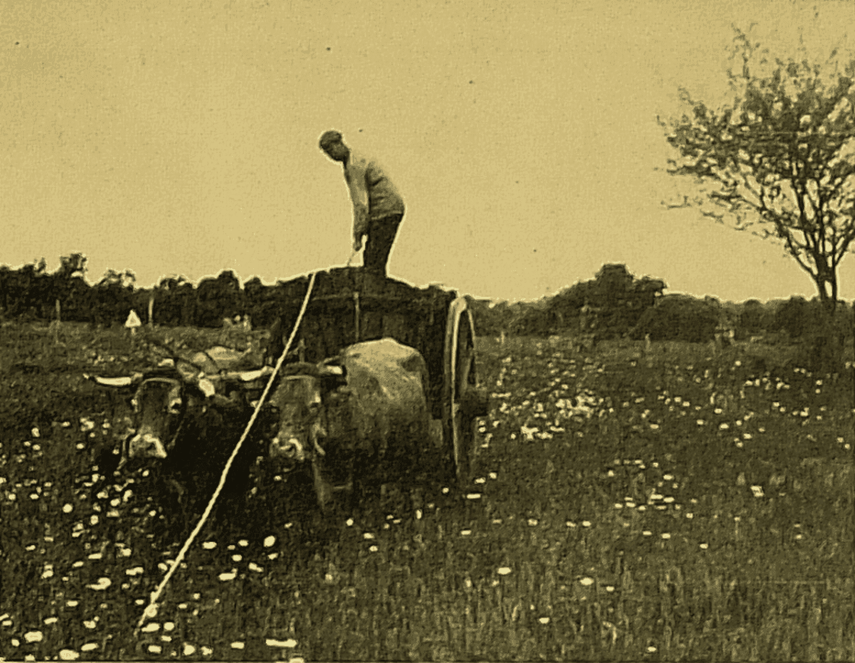 Attelage de bœufs à Millac (cliché M. Valière)